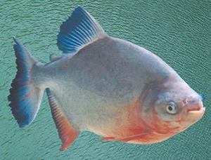 如何垂钓亚马逊白鲳鱼