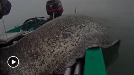 就问你这条鱼大不大!绝壁是鱼王
