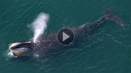 鲸鱼搁浅发生爆炸 场面骇人 极其危险