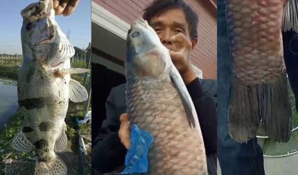 水库豪取90斤 最大一尾螺蛳青28斤